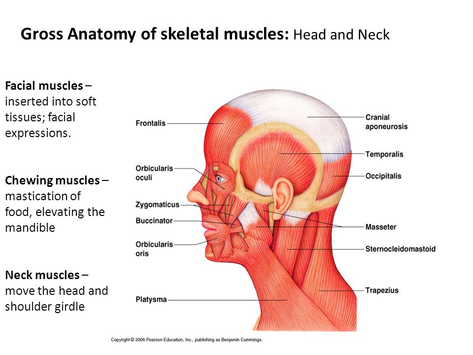 Gross Anatomy of skeletal muscles: Head and Neck