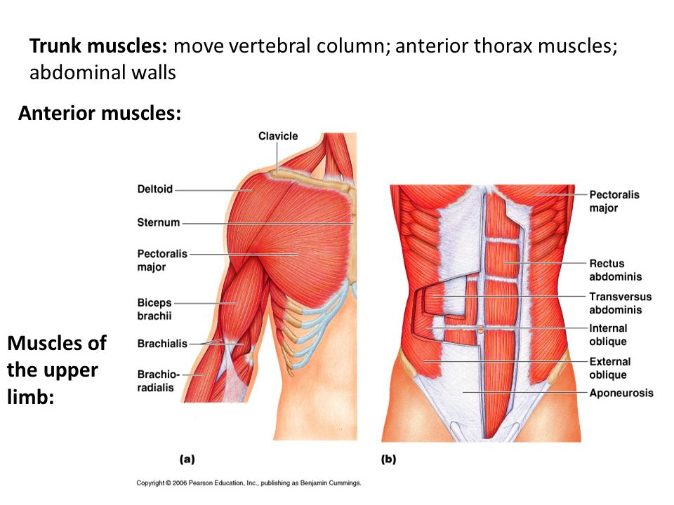 Trunk muscles: move vertebral column; anterior thorax muscles; abdominal walls