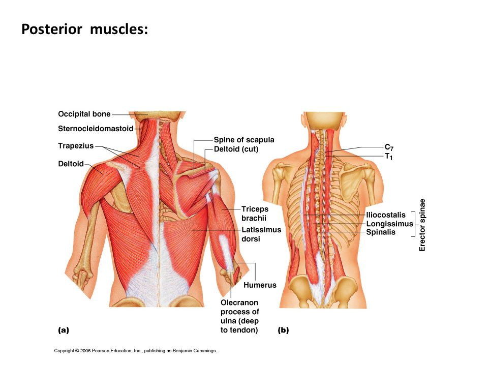 Posterior muscles: