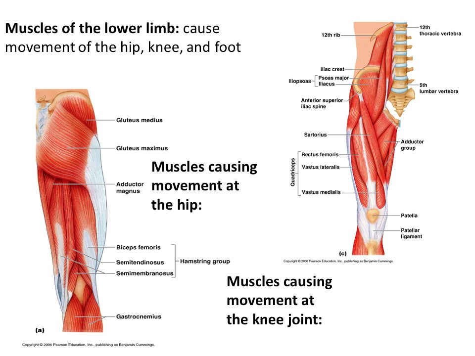 Muscles of the lower limb: cause movement of the hip, knee, and foot