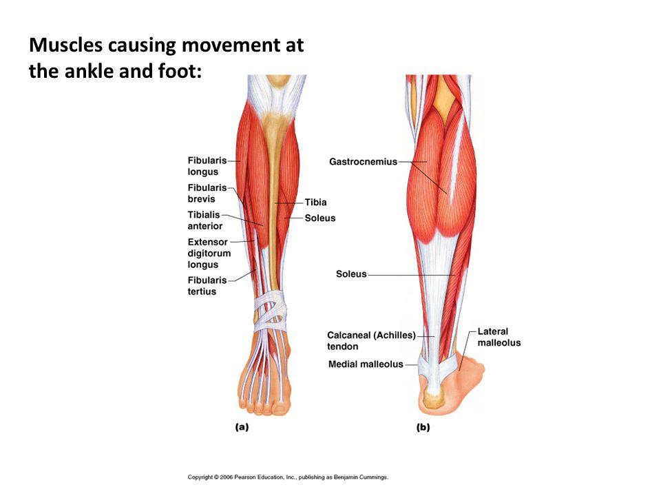 Muscles causing movement at the ankle and foot: