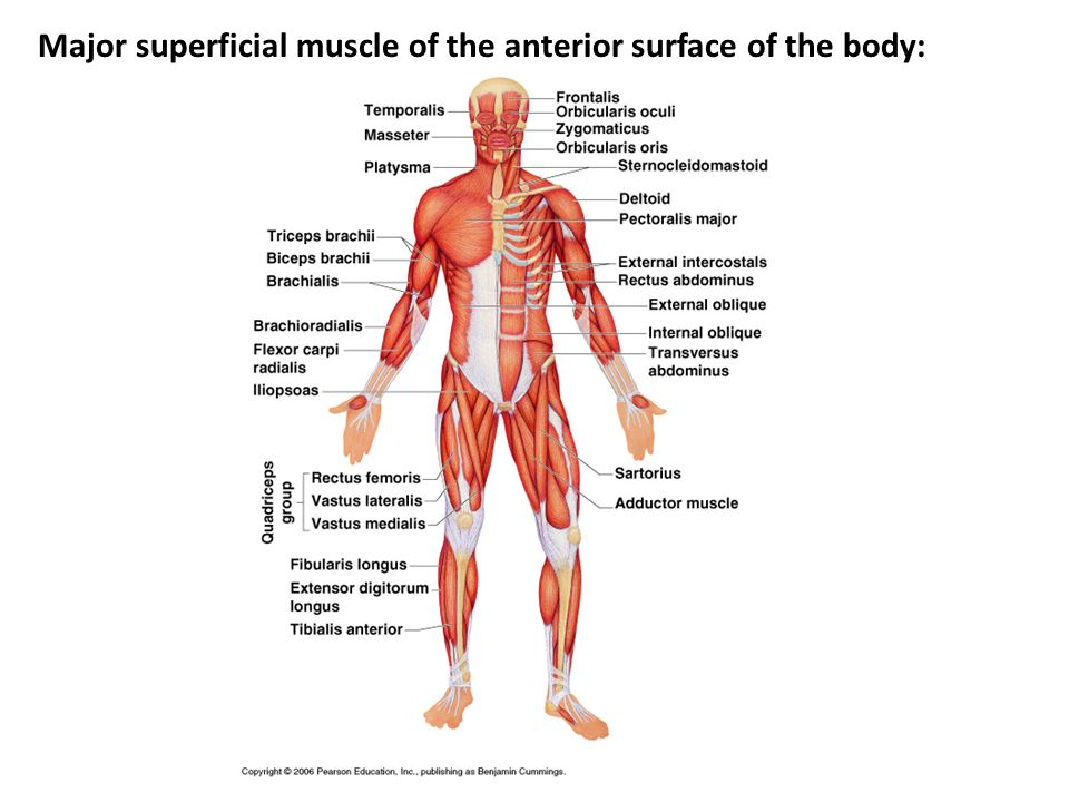 Major superficial muscle of the anterior surface of the body: