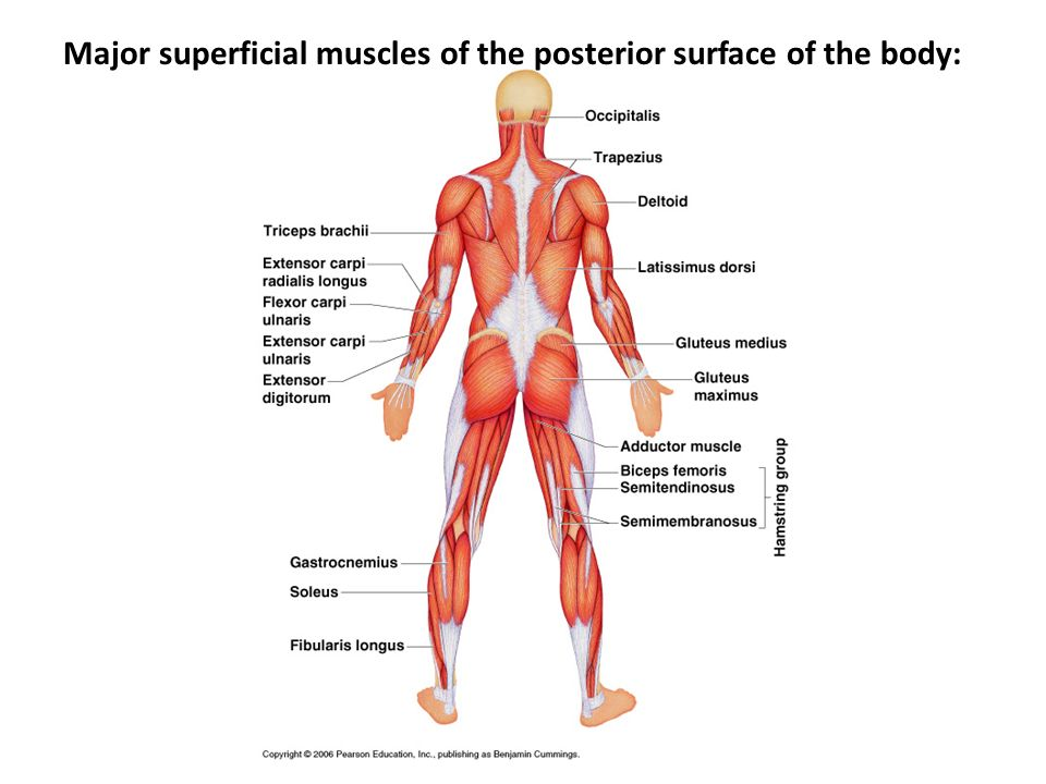 Major superficial muscles of the posterior surface of the body: