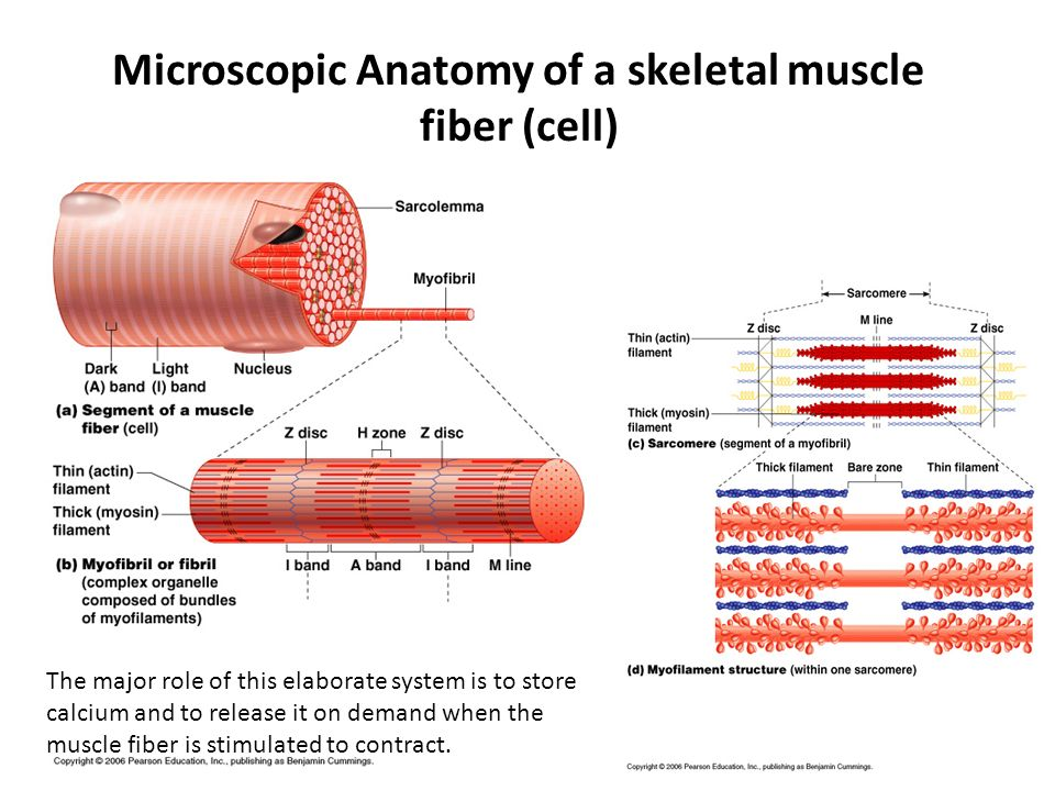 Microscopic Anatomy of a skeletal muscle fiber (cell)