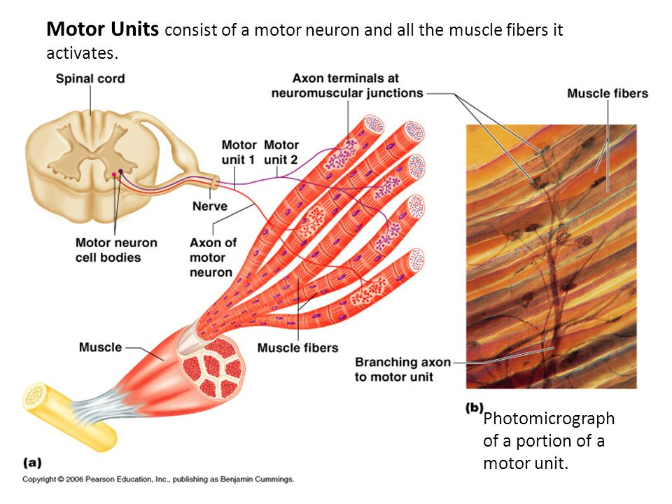 Motor Units consist of a motor neuron and all the muscle fibers it activates.