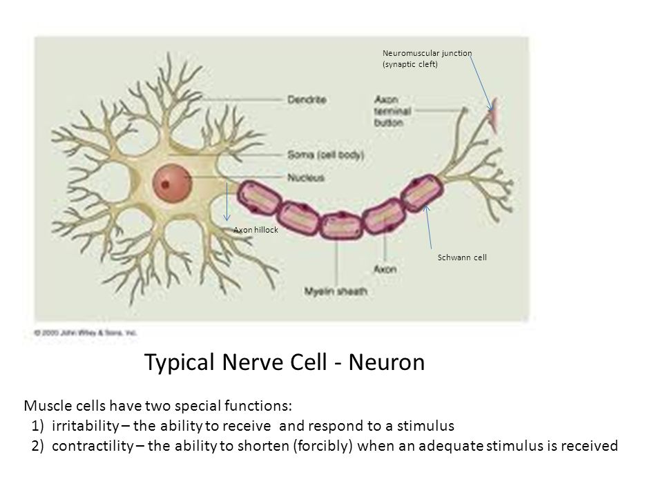 Typical Nerve Cell - Neuron