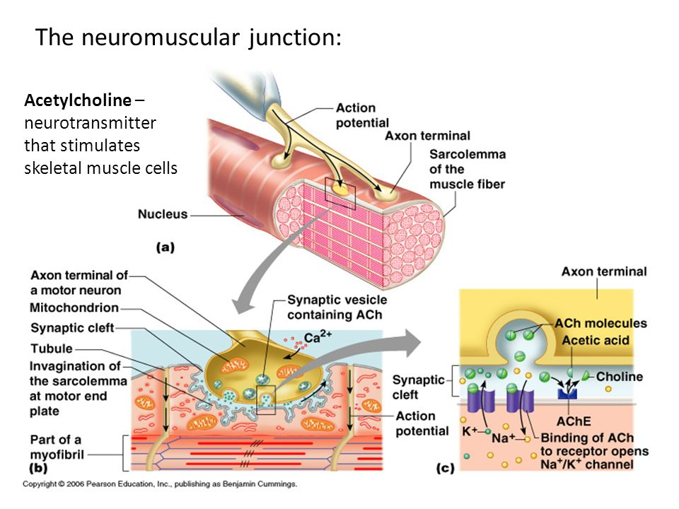 The neuromuscular junction: