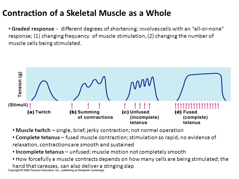 Contraction of a Skeletal Muscle as a Whole