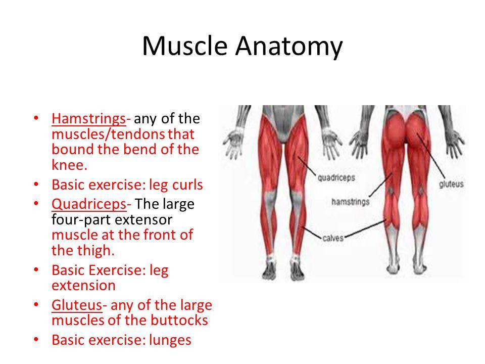 Hamstring Muscles Anatomy Gallery - human body anatomy