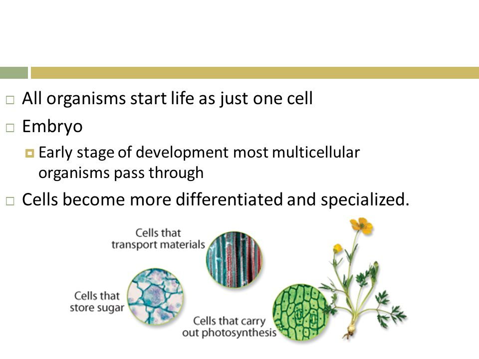 All organisms start life as just one cell Embryo
