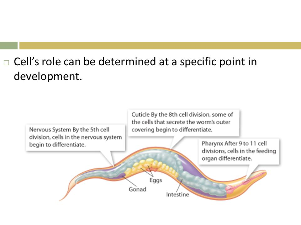 Cell's role can be determined at a specific point in development.