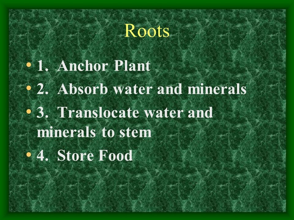 Roots 1. Anchor Plant 2. Absorb water and minerals