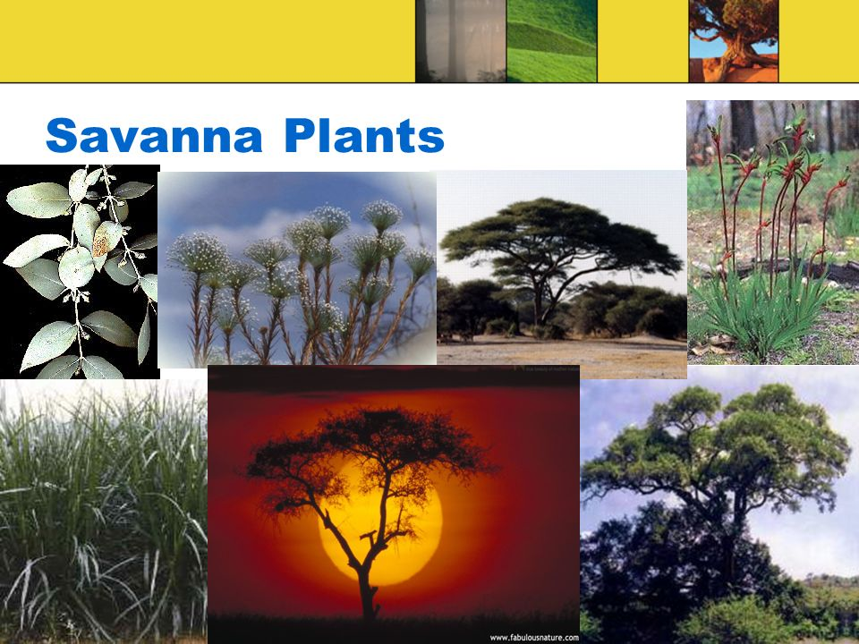 Savanna Plants