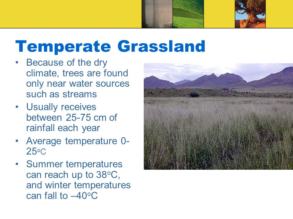 Temperate Grassland Because of the dry climate, trees are found only near water sources such as streams.