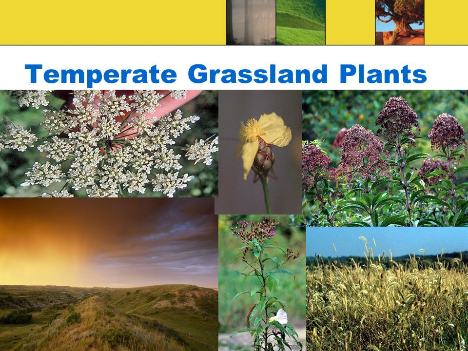 Temperate Grassland Plants