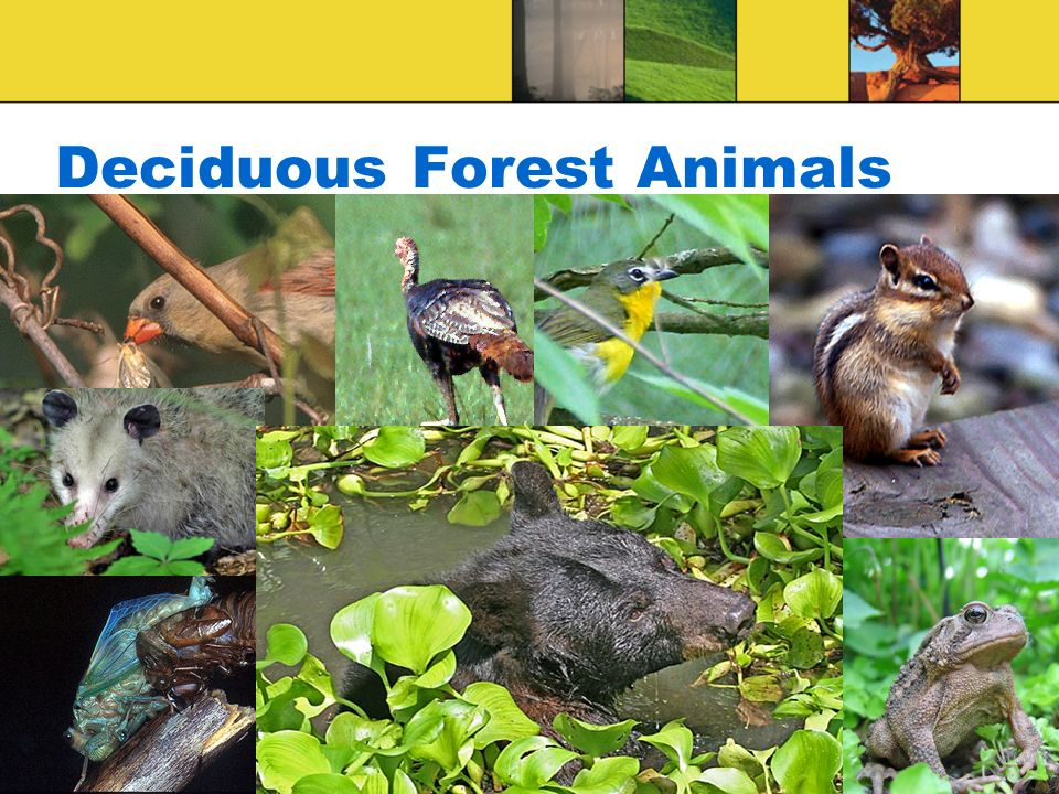 Deciduous Forest Animals