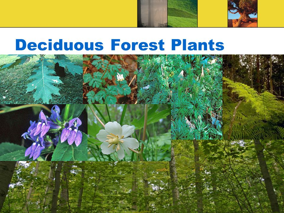 Deciduous Forest Plants
