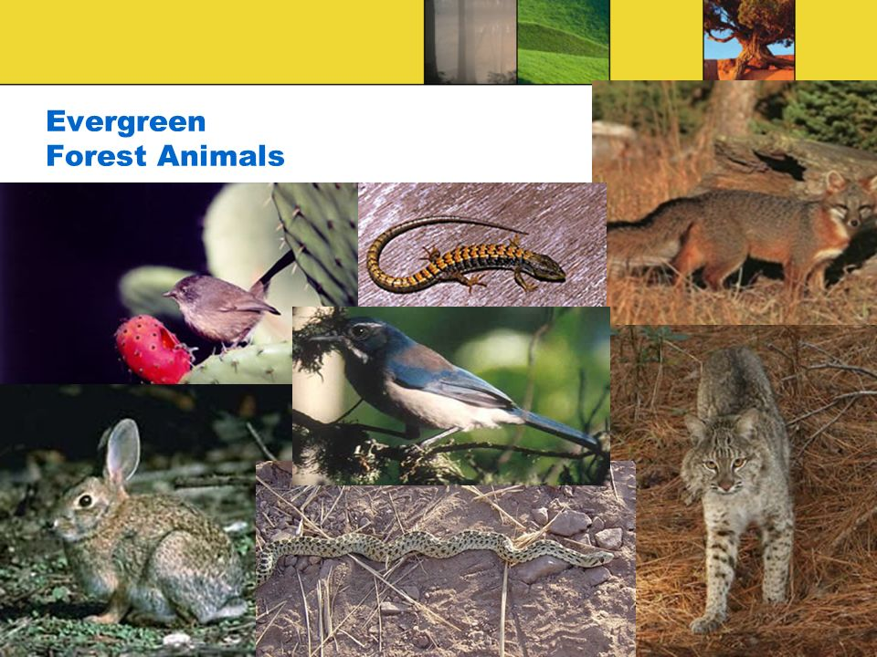 Evergreen Forest Animals