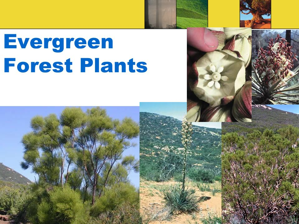 Evergreen Forest Plants