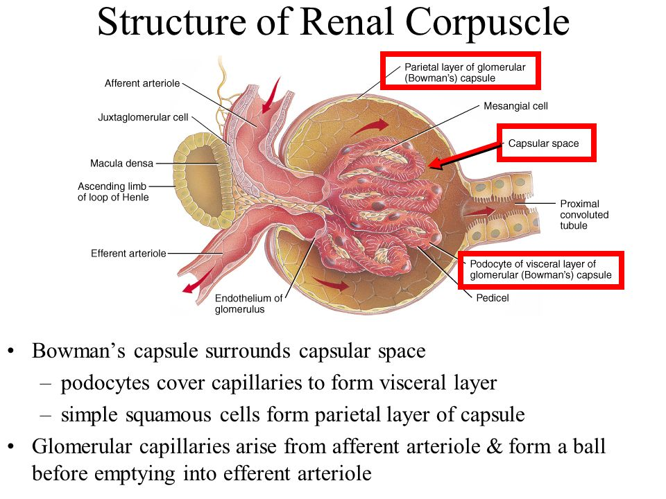 Renal Capsule Chapter 26 The Urinary...