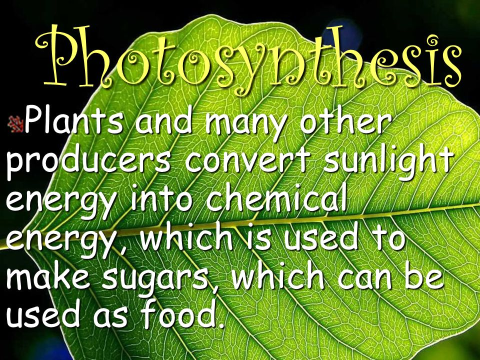 Photosynthesis Plants and many other producers convert sunlight energy into chemical energy, which is used to make sugars, which can be used as food.