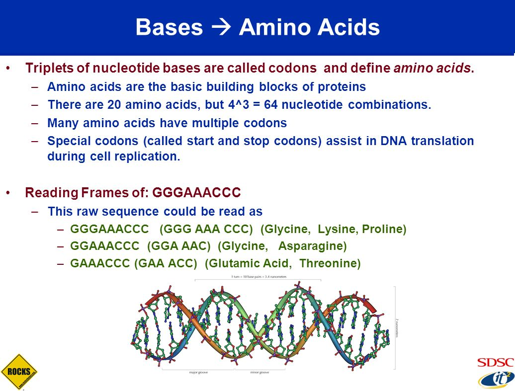 Bases  Amino Acids Triplets of nucleotide bases are called codons and define amino acids. Amino acids are the basic building blocks of proteins.