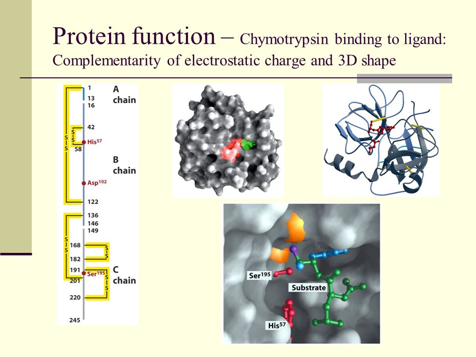Protein function – Chymotrypsin binding to ligand: Complementarity of electrostatic charge and 3D shape