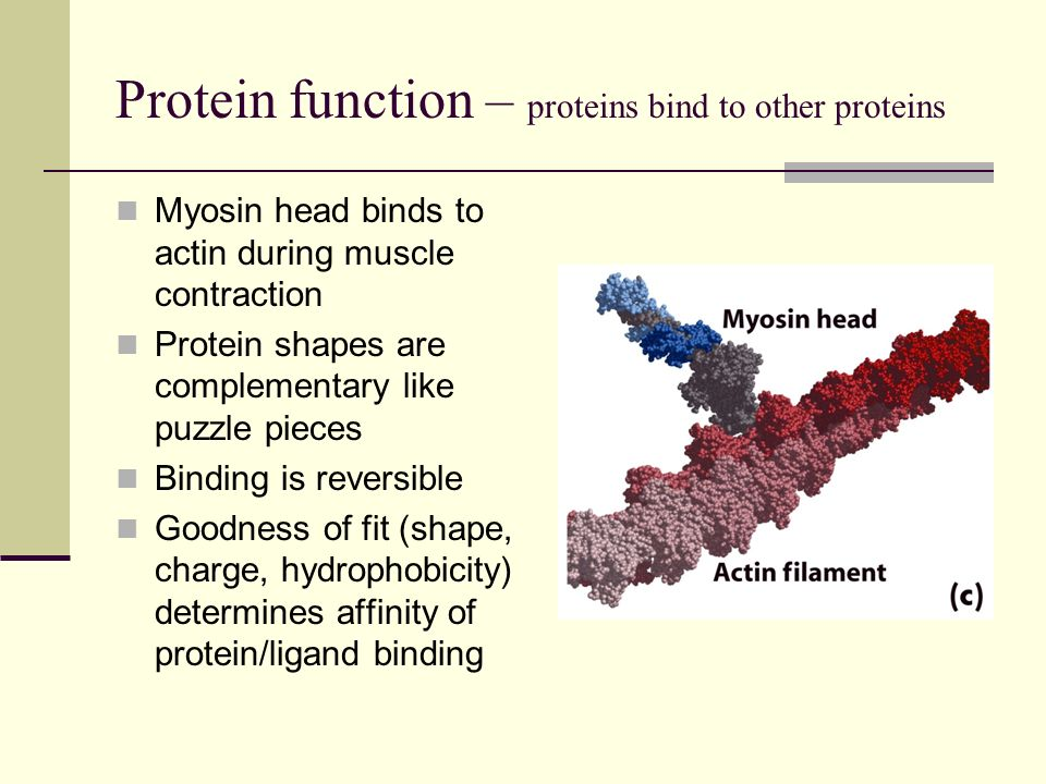 Protein function – proteins bind to other proteins