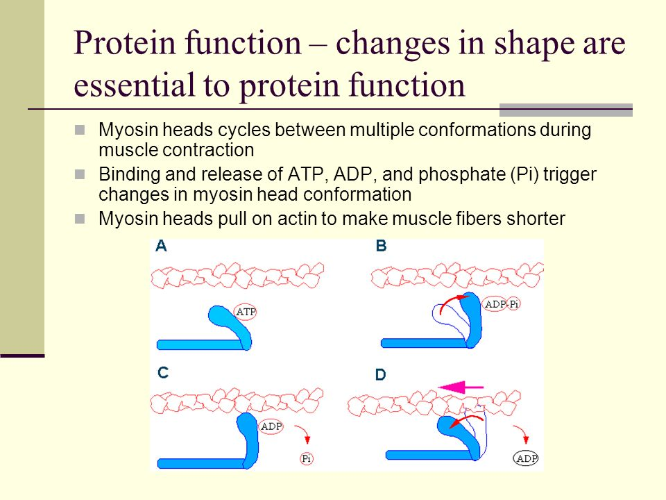 Protein function – changes in shape are essential to protein function