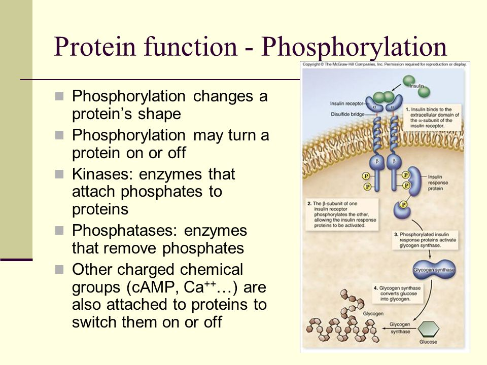 Protein function - Phosphorylation