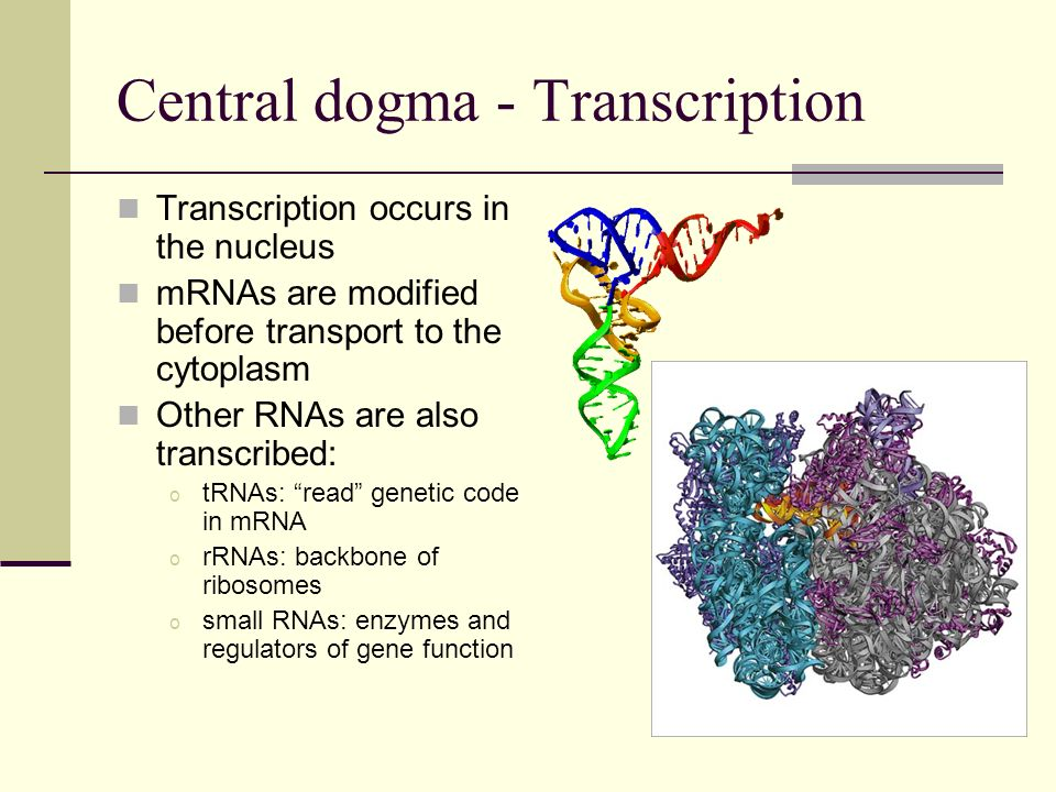 Central dogma - Transcription