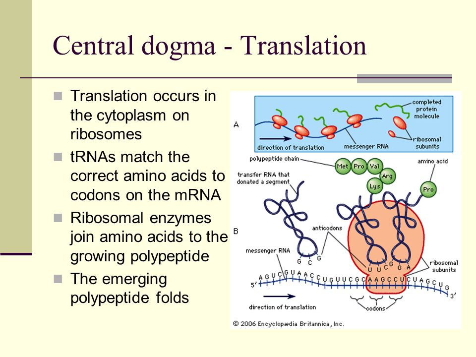 Central dogma - Translation