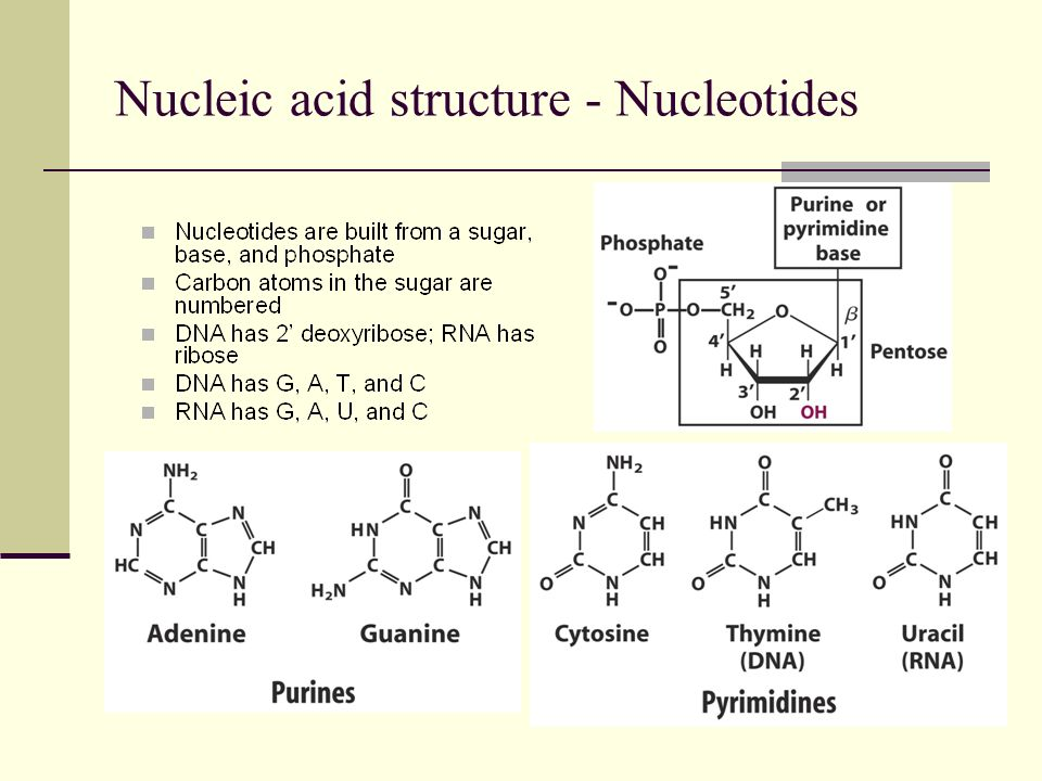 Nucleic acid structure - Nucleotides