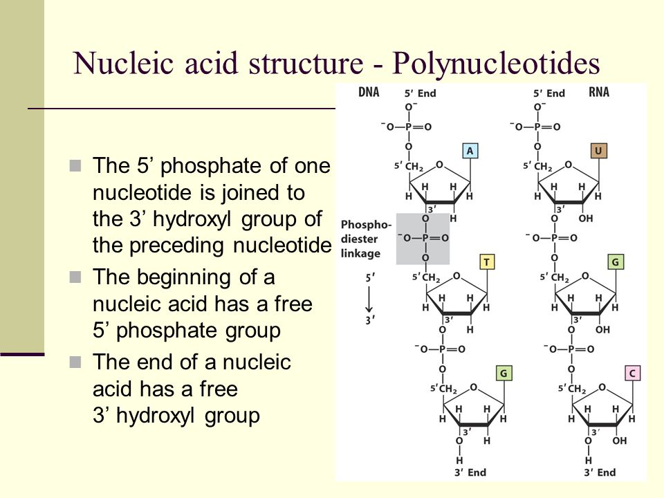 Nucleic acid structure - Polynucleotides