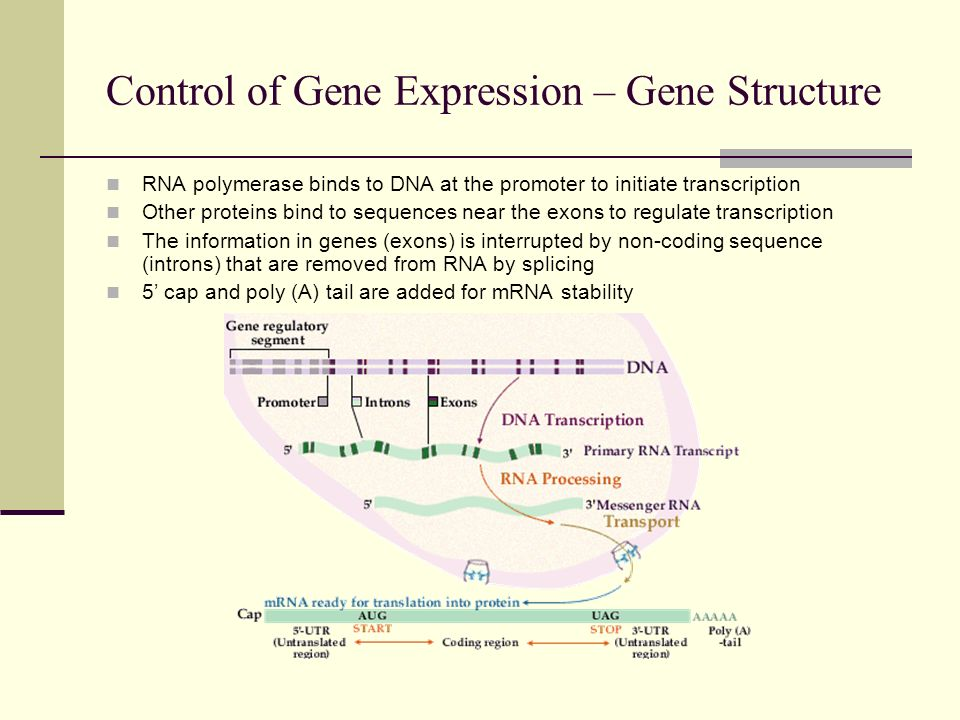 Control of Gene Expression – Gene Structure
