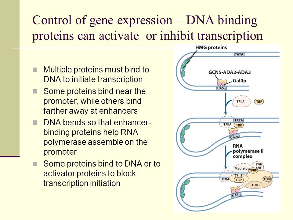 Control of gene expression – DNA binding proteins can activate or inhibit transcription
