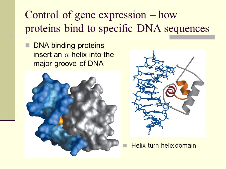Control of gene expression – how proteins bind to specific DNA sequences