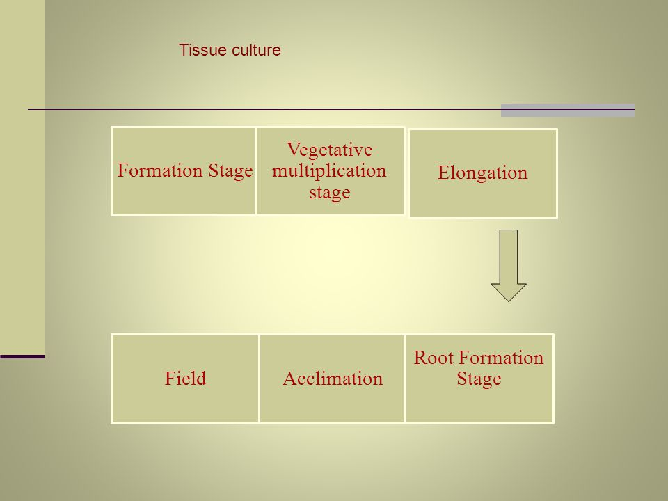 Vegetative multiplication stage