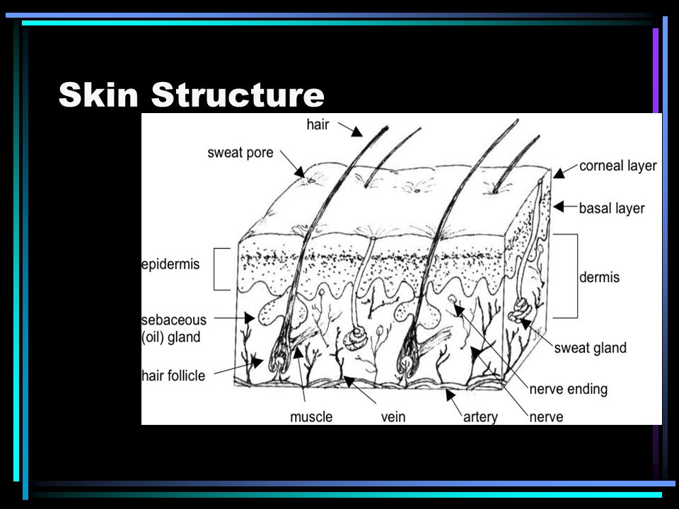 Skin Structure