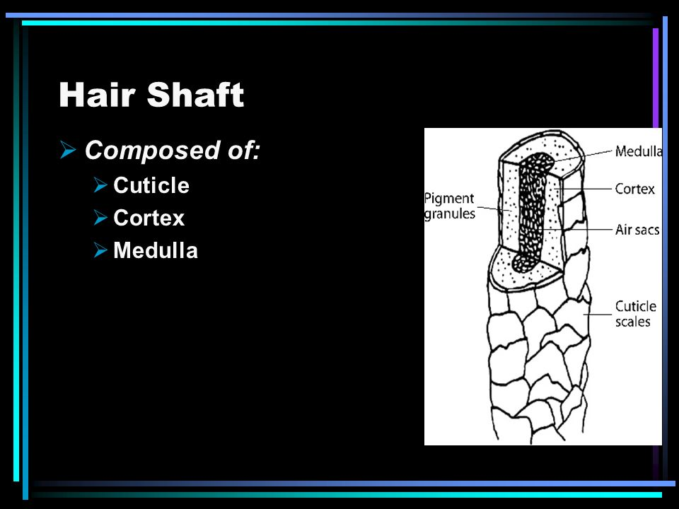 Hair Shaft Composed of: Cuticle Cortex Medulla