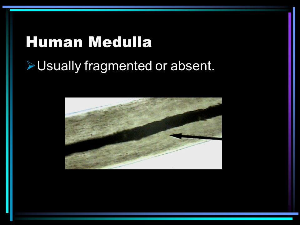 Human Medulla Usually fragmented or absent.