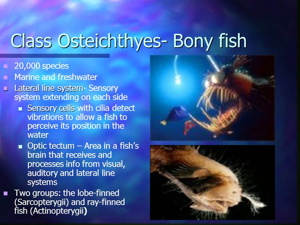Class Osteichthyes- Bony fish