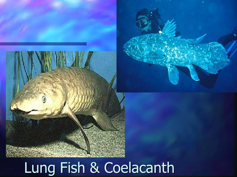 Lung Fish & Coelacanth