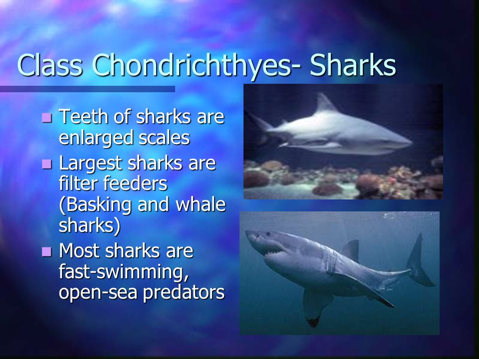 Class Chondrichthyes- Sharks
