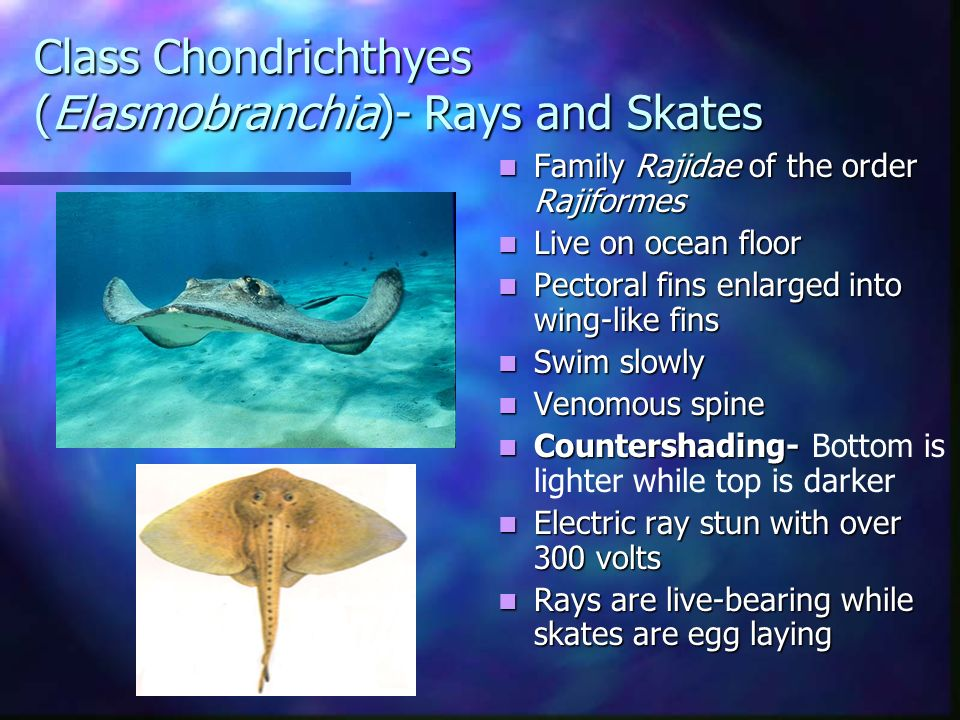 Class Chondrichthyes (Elasmobranchia)- Rays and Skates