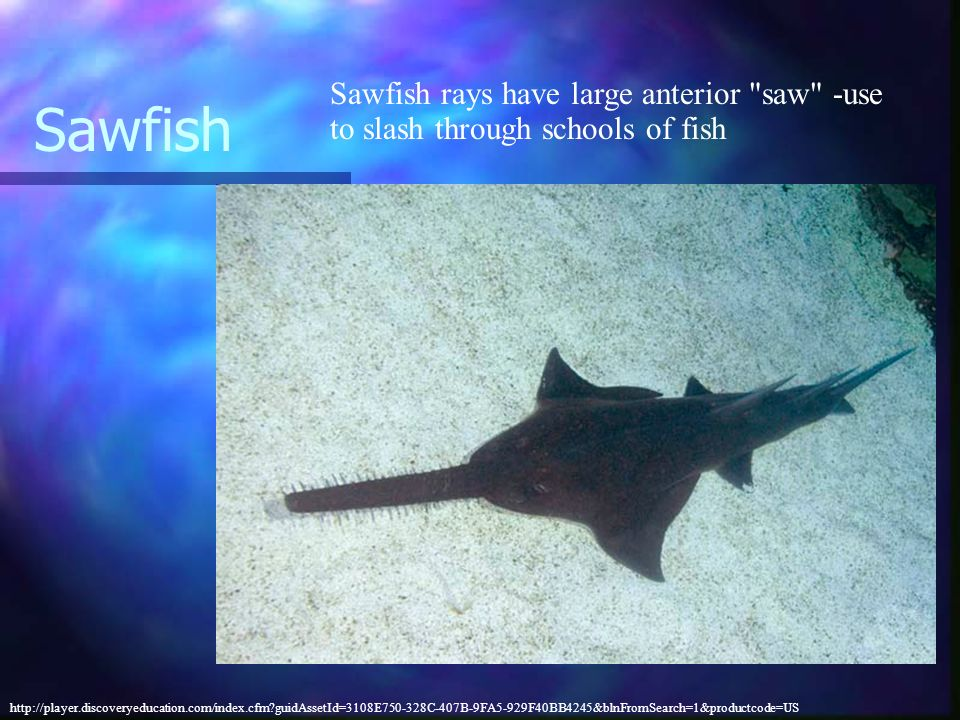 Sawfish Sawfish rays have large anterior saw -use to slash through schools of fish.