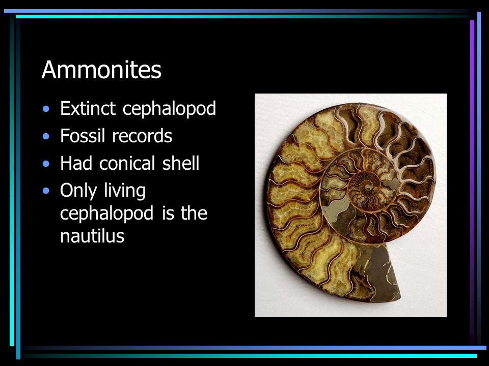 Ammonites Extinct cephalopod Fossil records Had conical shell