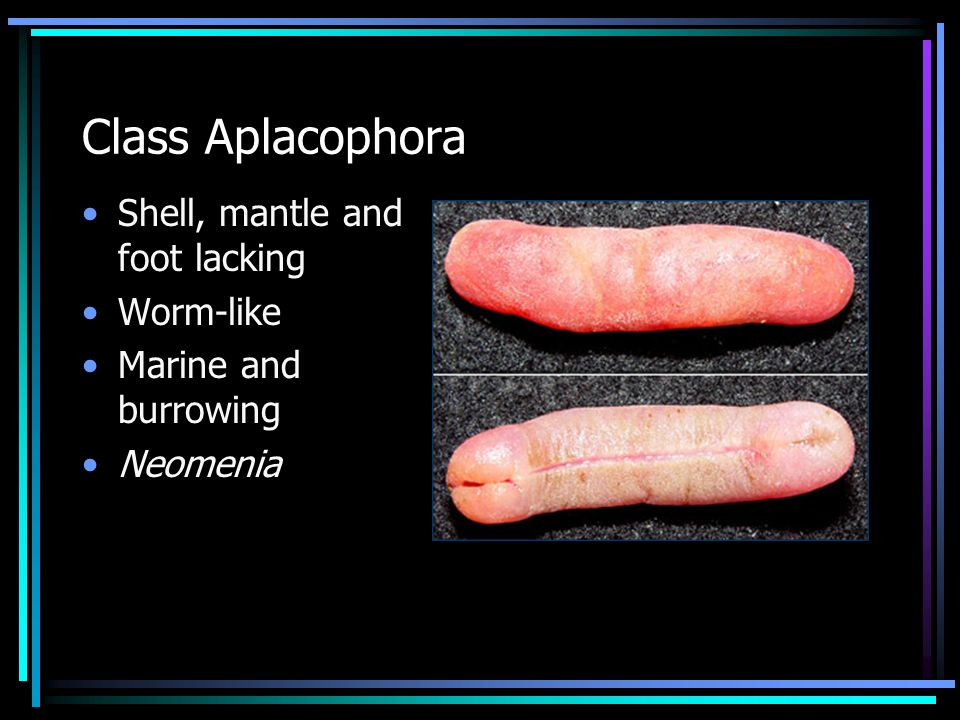 Class Aplacophora Shell, mantle and foot lacking Worm-like