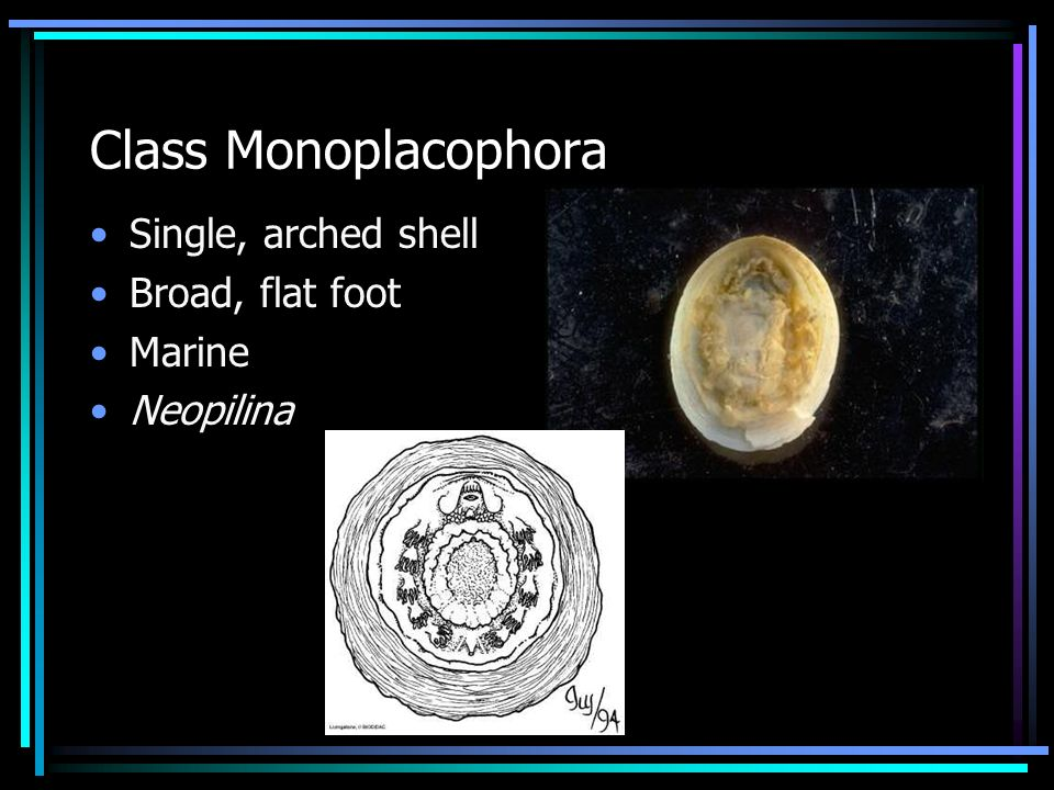 Class Monoplacophora Single, arched shell Broad, flat foot Marine