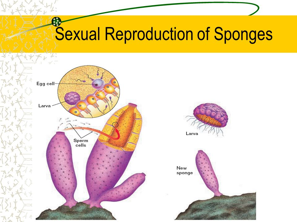 Sexual Reproduction of Sponges